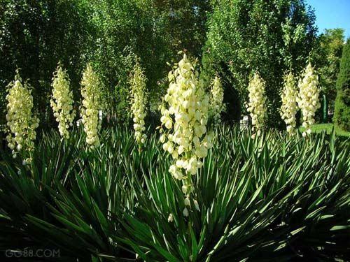 花灌木冠径二米剑麻、红王子锦带、迎春、云南黄馨 价格:10