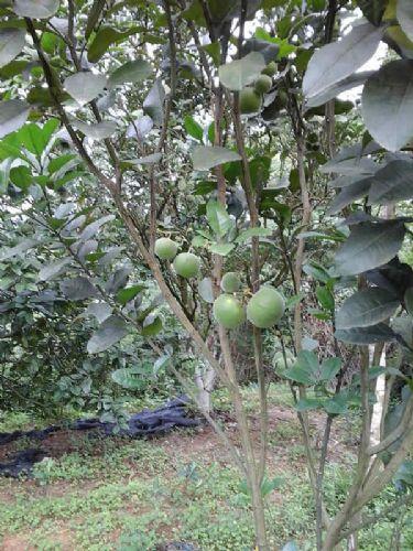 礞石山正毛橘红果 价格:140元/公斤