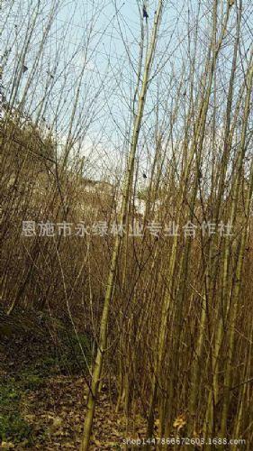 永绿树苗基地大量供应 连香小苗 连香