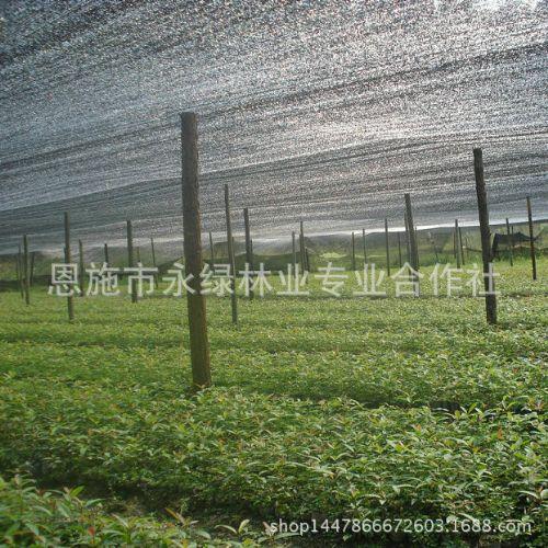 永绿批发供应漆树苗 优质漆树 漆树