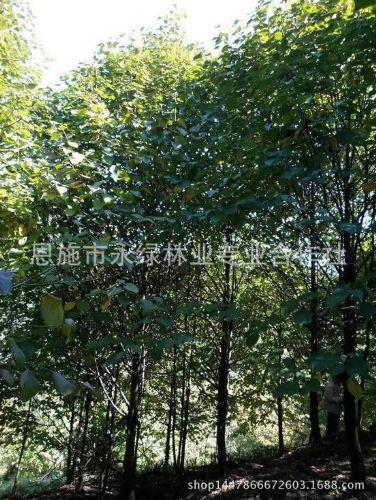 永绿厂家热销珙桐 珙桐植物 优质珙桐