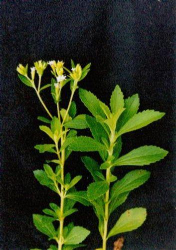 Stevia extract---New Mstar---Simin