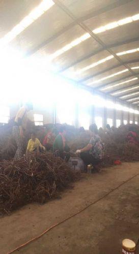 观赏牡丹种植技术/凤丹牡丹苗出售/山东永林牡丹种植基