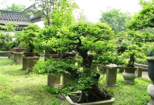名贵盆栽树种