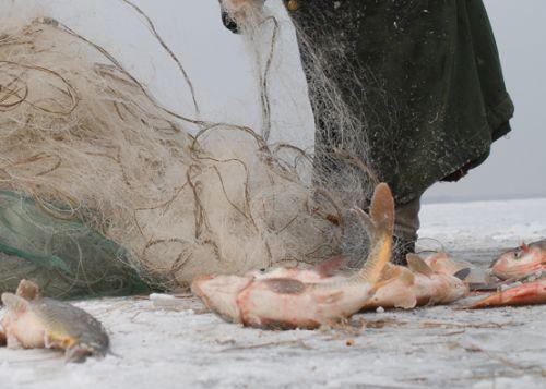 黑龙江大白鱼图片,黑龙江特产大白鱼价格