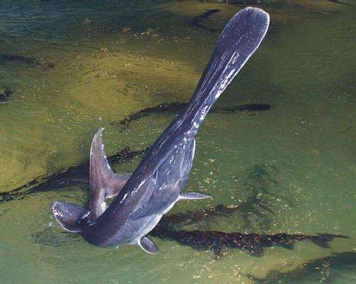 野生鸭嘴鱼多少钱一斤,野生白鱼多少钱一斤