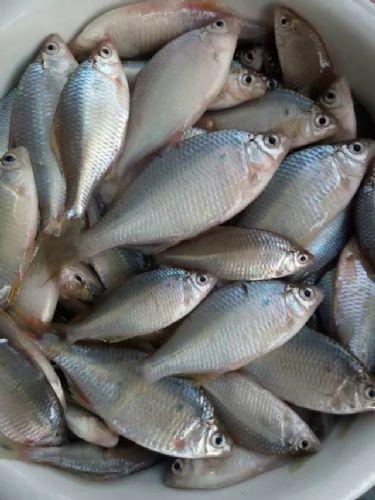 抚远特产胡罗鱼产地批发,鲜鱼��葫芦籽鱼供应商