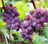 Resveratrol from grape