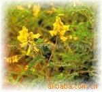 Scutellaria baicalensis Georgi P.E
