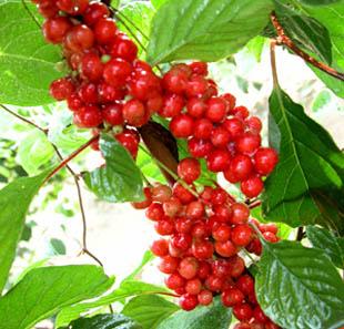 Schisandra Chinensis extract/