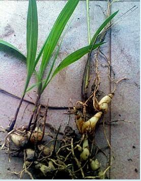 白芨种子_多年生供白芨花卉苗木20万株 价格:2元/棵