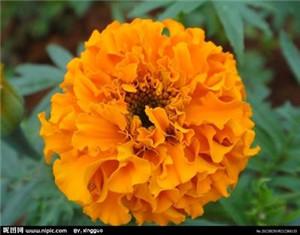 Marigold extract oleoresin
