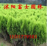绿篱色块绿化工程苗