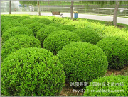 室内盆栽球形植物