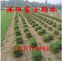耐旱耐寒绿化进口草坪种